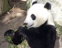 Panda Eats Regular Diet of Bamboo Shoots Royalty Free Stock Photos