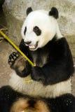Panda Eats Regular Diet of Bamboo Shoots Stock Images