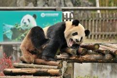 Panda el dormir Imagen de archivo libre de regalías