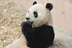 Panda em China Foto de Stock Royalty Free