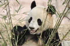 Panda en China fotos de archivo libres de regalías