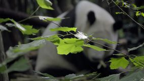 Panda en el fondo desenfocado almacen de video