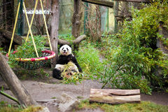 Panda en el parque zoológico de Viena Schonbrunn foto de archivo libre de regalías