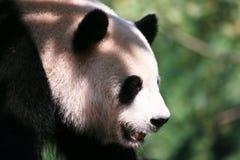 Panda en la cortina Imágenes de archivo libres de regalías