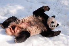 Panda en la nieve imagen de archivo libre de regalías