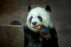 Panda en parque zoológico Imagenes de archivo