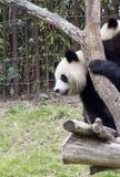 Panda en un parque zoológico Fotos de archivo libres de regalías
