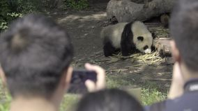 Panda enclosure surrounded by tourists. View of a panda enclosure surrounded by tourists stock video