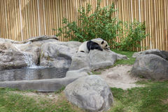 Panda enclosure at the Toronto Zoo, enjoy the sun on the rocks Stock Images