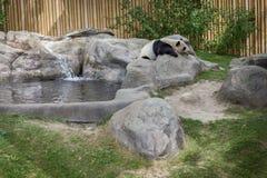 Panda enclosure at the Toronto Zoo, enjoy the sun on the rocks Royalty Free Stock Image