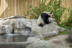 Panda enclosure at the Toronto Zoo, enjoy the sun on the rocks Royalty Free Stock Photography