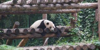 Panda endormi sur le cadre de s'élever photo libre de droits