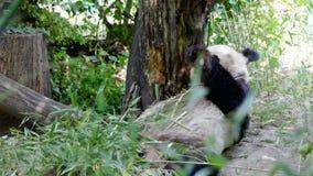 Panda enorme um urso vídeos de arquivo