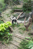 Panda Exhibit Images stock