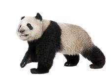 panda för 18 jätte- melanoleucamånader för ailuropoda Arkivbild