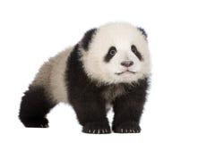 panda för 6 jätte- melanoleucamånader för ailuropoda royaltyfri fotografi