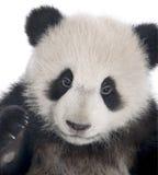 panda för 6 jätte- melanoleucamånader för ailuropoda royaltyfri foto