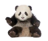 panda för 6 jätte- melanoleucamånader för ailuropoda Fotografering för Bildbyråer