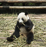 Panda feeding. In a relaxed sitting posture Royalty Free Stock Photos