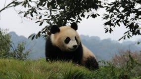Panda feliz Imágenes de archivo libres de regalías