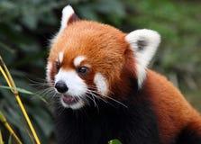 Panda feliz en un parque, China Foto de archivo libre de regalías