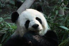 Panda femelle dans le zoo de Chiangmai, Photos stock