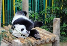 Panda fixant et mangeant image stock