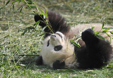 Panda géant photos stock