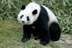 Panda géant photographie stock libre de droits