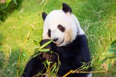 Panda géant Photo libre de droits