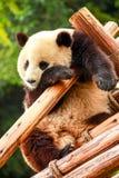 Panda géant images libres de droits