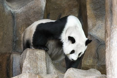 Panda géant photos stock