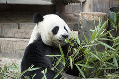 Panda géant Photographie stock