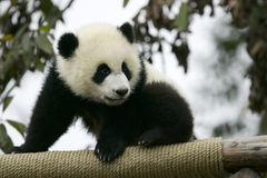 Panda géant Cub Photo stock