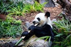 Panda géant dans l'environnement de zoo images libres de droits