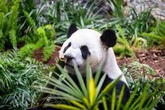 Panda géant dans l'environnement de zoo photographie stock libre de droits