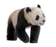 panda géant de 18 d'ailuropoda mois de melanoleuca Photos libres de droits