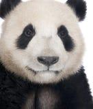 panda géant de 18 d'ailuropoda mois de melanoleuca Photographie stock