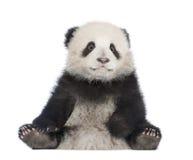 panda géant de 6 d'ailuropoda mois de melanoleuca Photo stock