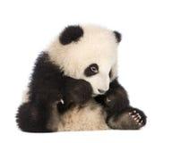 panda géant de 6 d'ailuropoda mois de melanoleuca Photo libre de droits