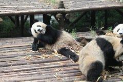 Panda géant de famille de bébés, Chengdu Chine Image stock