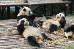 Panda géant de famille de bébés, Chengdu Chine Photographie stock