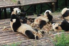 Panda géant de famille de bébés, Chengdu Chine Photos libres de droits