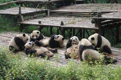 Panda géant de famille de bébés, Chengdu Chine Image libre de droits
