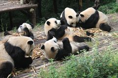 Panda géant de famille de bébés, Chengdu Chine Images stock