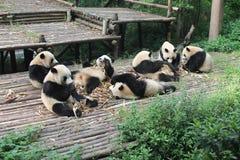 Panda géant de famille de bébés, Chengdu Chine Photographie stock libre de droits