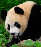 panda géant de melanoleuca d'ailuropoda Photos stock