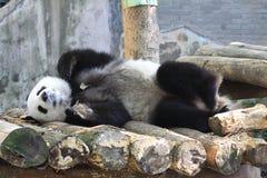 Panda géant de sommeil image libre de droits