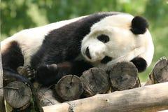 Panda géant de sommeil Photo stock