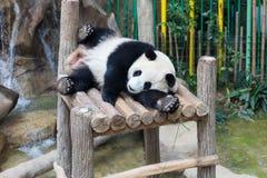 Panda géant dormant sur la plate-forme en bois Photo libre de droits